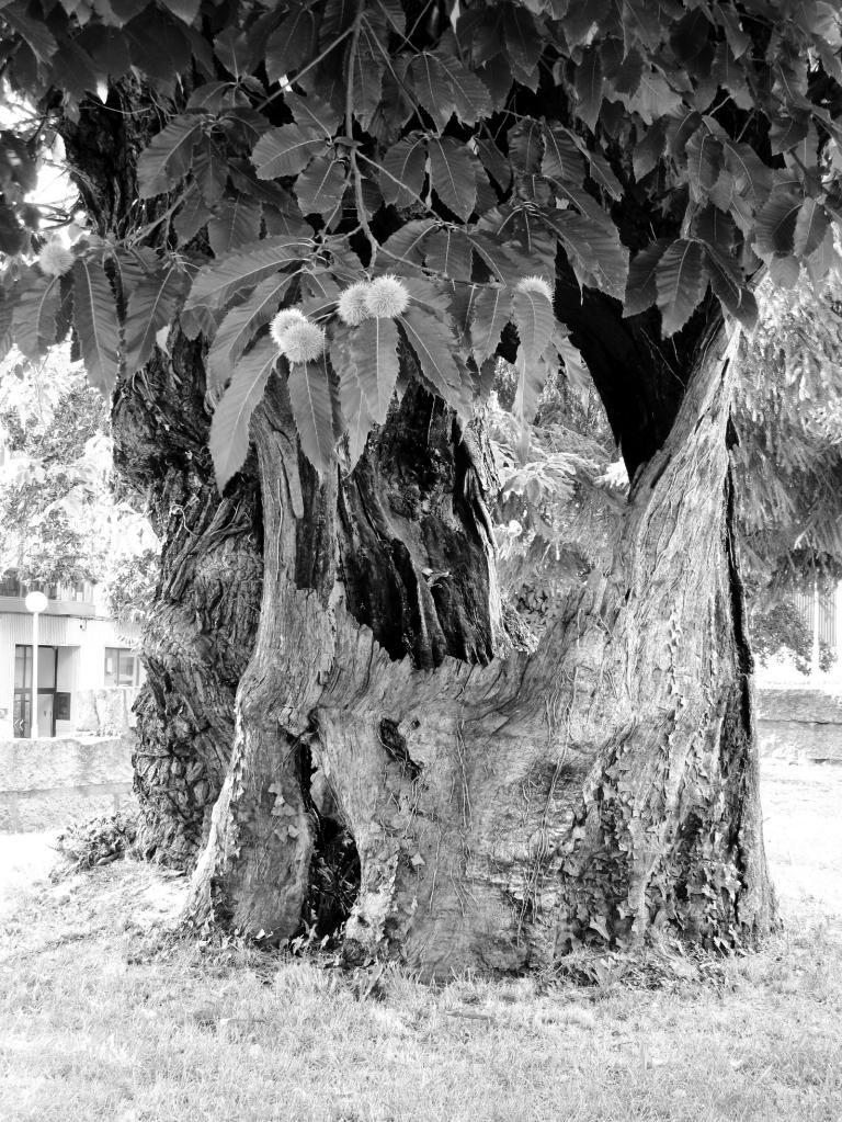 Frente al ambulatorio, un viejo árbol con un gran hueco