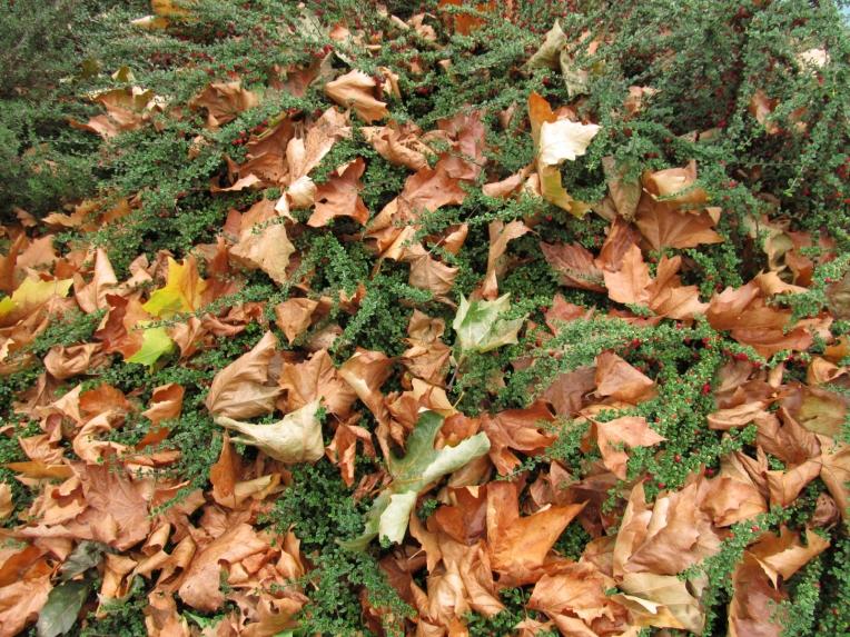 Al caminar sin apuros, puedes disfrutar de tales maravillas. Hojas caídas en otoño entre una zarza con flores rojas - Galicia, septiembre 2012