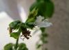 Albahaca con flor, otoño de 2012 - presente en pesto y pizzas, dificilmente encuentro algo más verde en la cocina