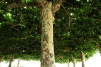 """El """"techo vegetal"""" de la Alameda en verano, Galicia 2012 (Imagen HDR compuesta a partir de 3 instantáneas con diferente exposición)"""