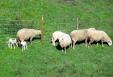 Lo más crudo del invierno trajo el regalo de nuevas crías - los corderillos, a la izquierda, mientras sus mayores pastan. Galicia - Febrero