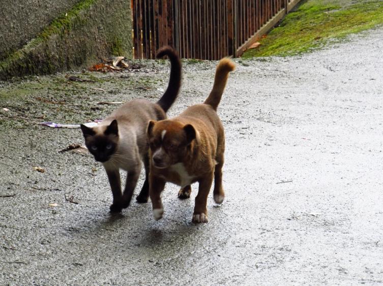 Sherlock y Watson, tan amigos a la vez que tan diferentes, pasean mientras conversan camino del mercado. Galicia - Octubre