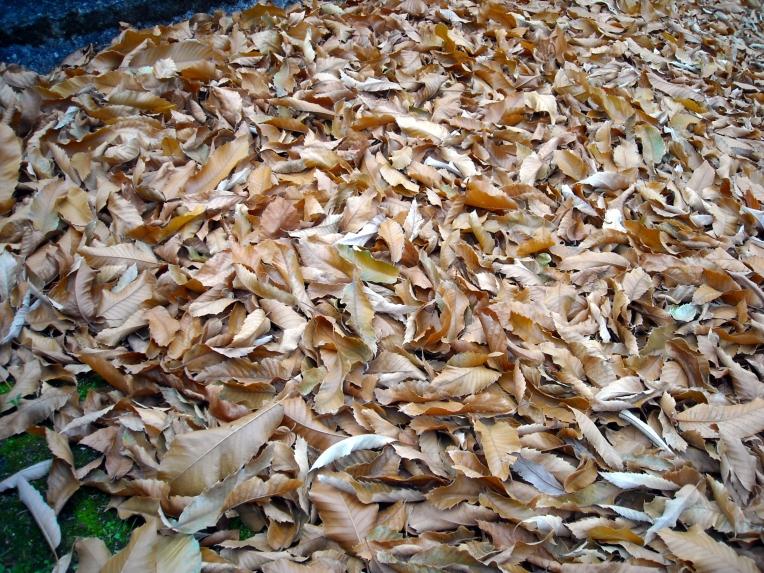 Las hojas secas, cual alfombra, cubren el suelo.  Diciembre 2013, Celanova - Orense, Galicia - España.